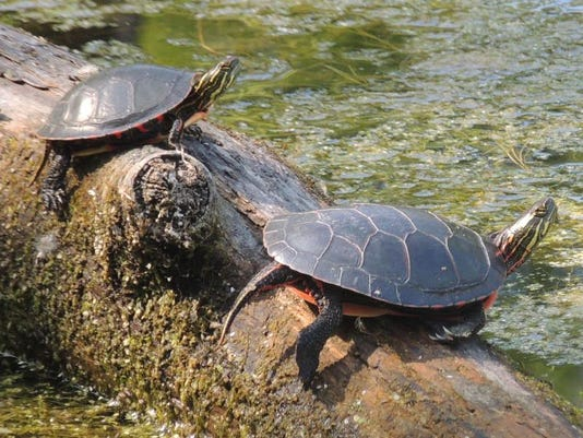 APCBrd_06-03-2014_Crescent_1_C001~~2014~06~02~IMG_APC_zimmer_turtles_n_1_1_N.jpg