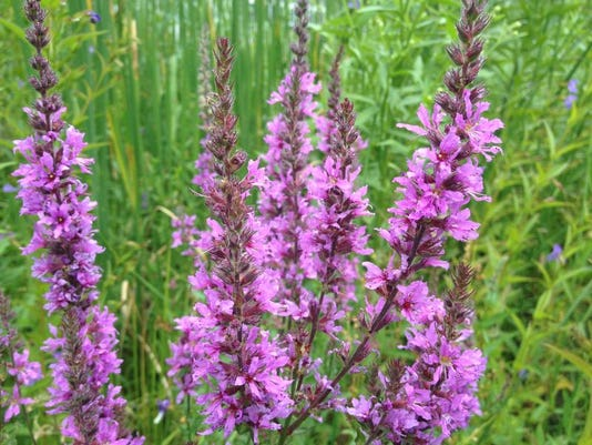 APC 062514 Yard MD BLOG-purple loosestrife.JPG