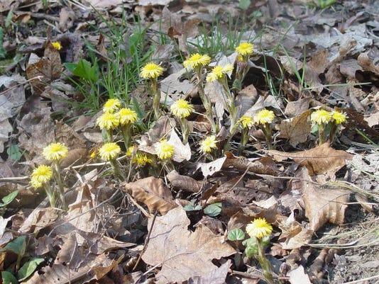 Flower_20-_20Coltsfoot_20-_20John_20Thompson(1).JPG