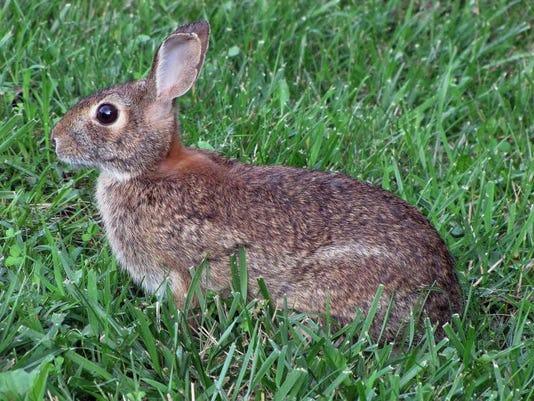Eastern_cottontail_rabbit.jpg