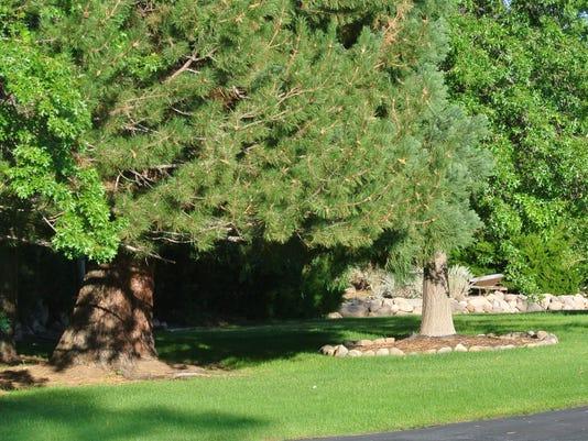 636682585462499738-TreesMulchRingsTurfgrassWHM.jpg