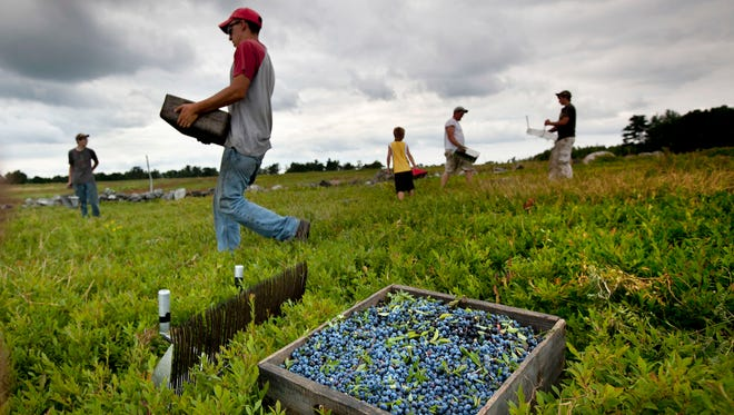 In this Friday, July 27, 2012, file photo, workers harvest wild blueberries at the Ridgeberry Farm in Appleton, Maine. Maine's governor and members of its blueberry industry fear losing growers due to a depression in prices that has made growing the beloved crop a less reliable way to make a living.