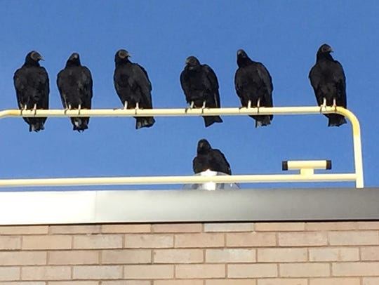 More and more black vultures are being seen in North