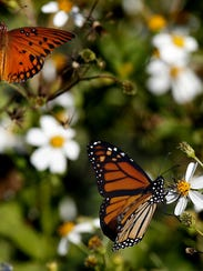 The St. Marks National Wildlife Refuge hosts the annual Monarch Butterfly Festival each fall.