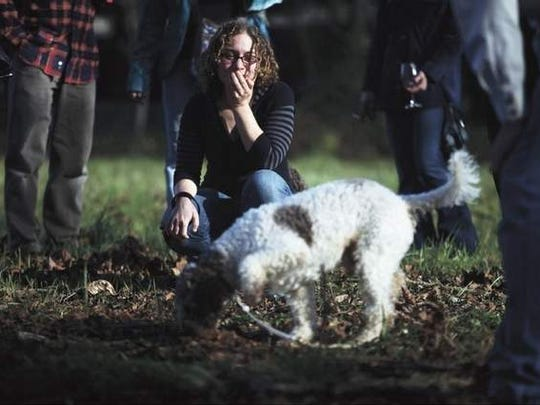 Kate Heim watches Tom, a the lagotto romagnolo, demonstrate his talent at the Oregon Truffle Festival in Eugene on Jan. 31. More common breeds of dog also can be trained to hunt for the prized fungi.