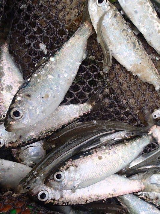 636222478354315816-juvenile-herring.jpg