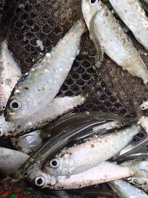 Federal fishing managers on Tuesday will consider a host of potentially major changes to the industry that harvests herring.