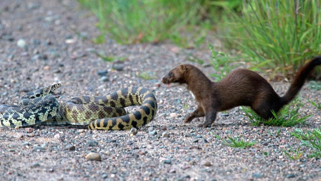 2014 Best of Show winner is LouAnn Wheeler from Danbury. Wheeler's entry 'Face-off' is a stunning and rare photograph of a mink and large bull snake fighting.