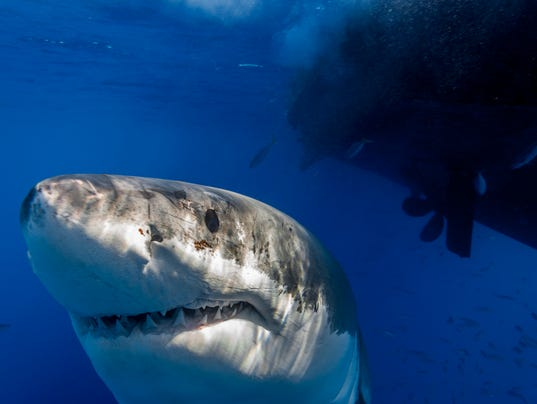 IMG_7918_George Probst_yourtake_ucg_shark