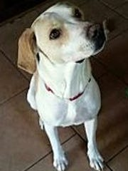 Lady Anne is a 2- to 3-year-old, spayed female Labrador retriever. She if fully vetted, house trainedand has a micro chip. Lady Anne is very loving and gets along great with children, catsand other dogs. Find her through Companion Pet Rescue of Middle Tennessee, 615-260-8473, www.adoptapet.com/companion-pet-rescue-of-middle-tennessee/available-pets/