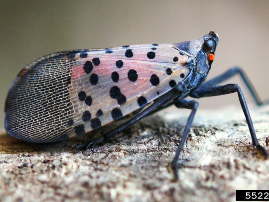 These invasive insects could wreak havoc in New York fruit trees and hardwoods.