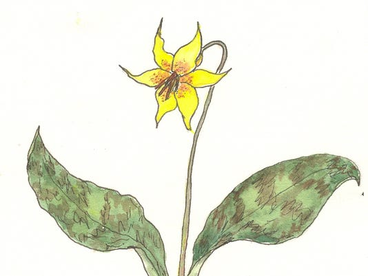 Trout-Lily.jpg