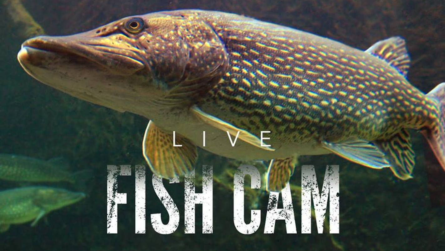 Michigan hatchery webcam offers 24 7 fish reality show for Fish hatchery michigan