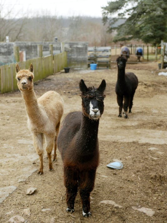 Three alpacas roam the yard at Shady Pine Farms in North Hopewell Township, the future site of the Teaching Museum for the Fiber Arts and Textiles.