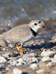 The piping plover is a federally endangered bird species.
