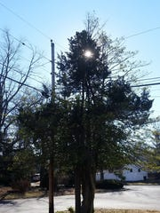 This tree, next a utility pole on Hollie Drive in Middletown, has grown around the power lines.