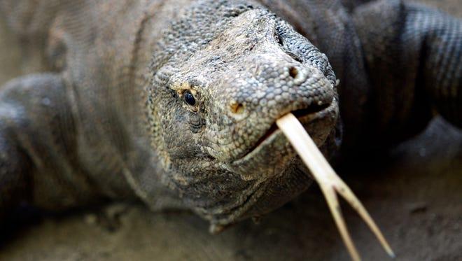 A Komodo dragon in Indonesia.