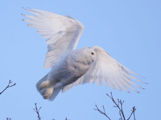 A snowy owl at the Dead Creek Wildlife Refuge in Addison.