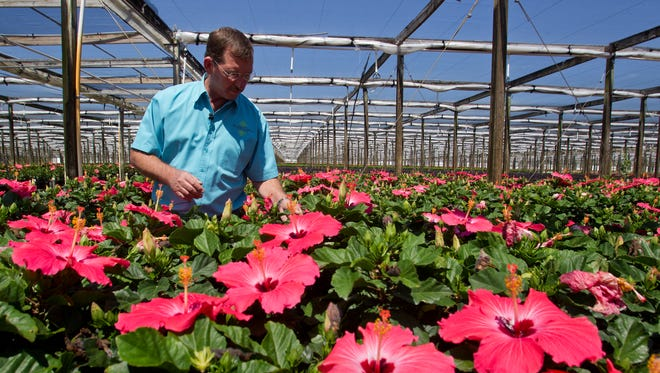 Delray Plants vice president Randy Gilde checks the health of hibiscus blooms Friday, May 16 in Venus, FL. The facility may apply for a license to grow medical marijuana.
