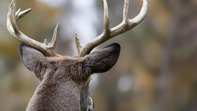 New York City is moving forward with efforts to control the overpopulation of deer on Staten Island with vasectomies.