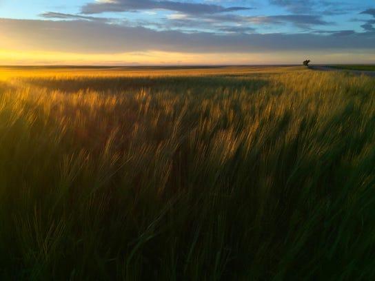 Barley grows on the DeBruycker Charolais farm between