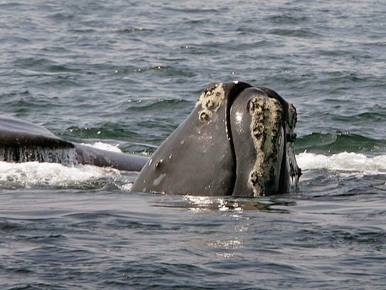 In a 2008 file photo, a North Atlantic right whale