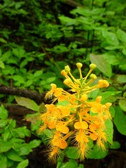Yellow-fringed orchid is one of the many types of early-spring