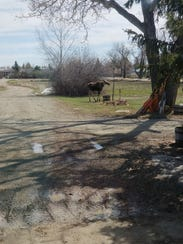 A moose showed up at Jerry and Donna Hepp's place near