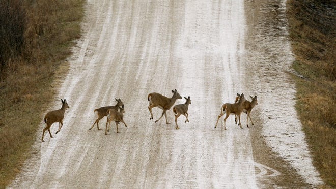 FILE - A herd of deer cross a snow covered gravel road, in this Tuesday, Dec. 20, 2011 file photo taken near Prairie City, Iowa. Long the bane of gardeners and unwary motorists, soaring deer populations are also nuisances for airports and threats to pilots, especially at this time of year, according to aviation and wildlife experts. There were only about 350,000 of the creatures in the U.S. in 1900. By 1984 there were 15 million and by 2010 more than 28 million.  (AP Photo/Charlie Neibergall, File) ORG XMIT: NY113