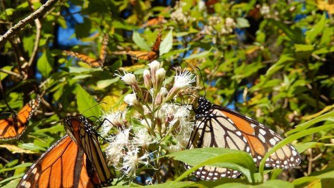 Monarch butterflies congregate at their over-wintering site in Sierra Chincua sanctuary in Mexico. The monarchs migrate from Michigan and elsewhere in Canada and the U.S. as much as 4,000 miles every fall.