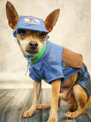 """It's """"Career Week"""" at Chi Town, the shelter-within-a-shelter for Chihuahuas at Maricopa County Animal Care and Control. Most adoption fees are $20, which includes rabies shot, county license and neuter. Visit Chi Town at the county's west shelter, 2500 S. 27th Avenue, Phoenix. Chi Town is open from 11 a.m. to 6 p.m. Monday to Friday, and from 11 a.m. to 5 p.m. on Saturday and Sunday."""