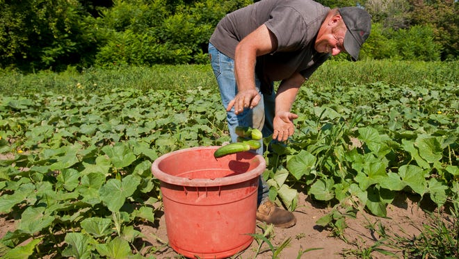 Dean Brigante harvests cucumbers for sale at his farm stand in Colchester, Vt., on Monday, Aug. 11, 2014.