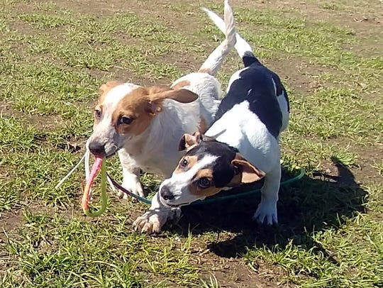 Tom and Jerry are 4-month-old dachshund/beagle brothers.