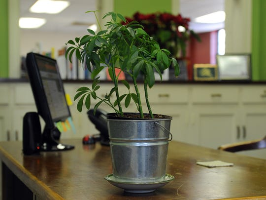 Certain green plants thrive in low-light conditions often found in offices and help to clean the air.