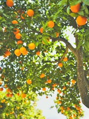 """University of Florida researchers caution that it could be years before the a cure for citrus """"greening"""" could become commercially available to growers."""