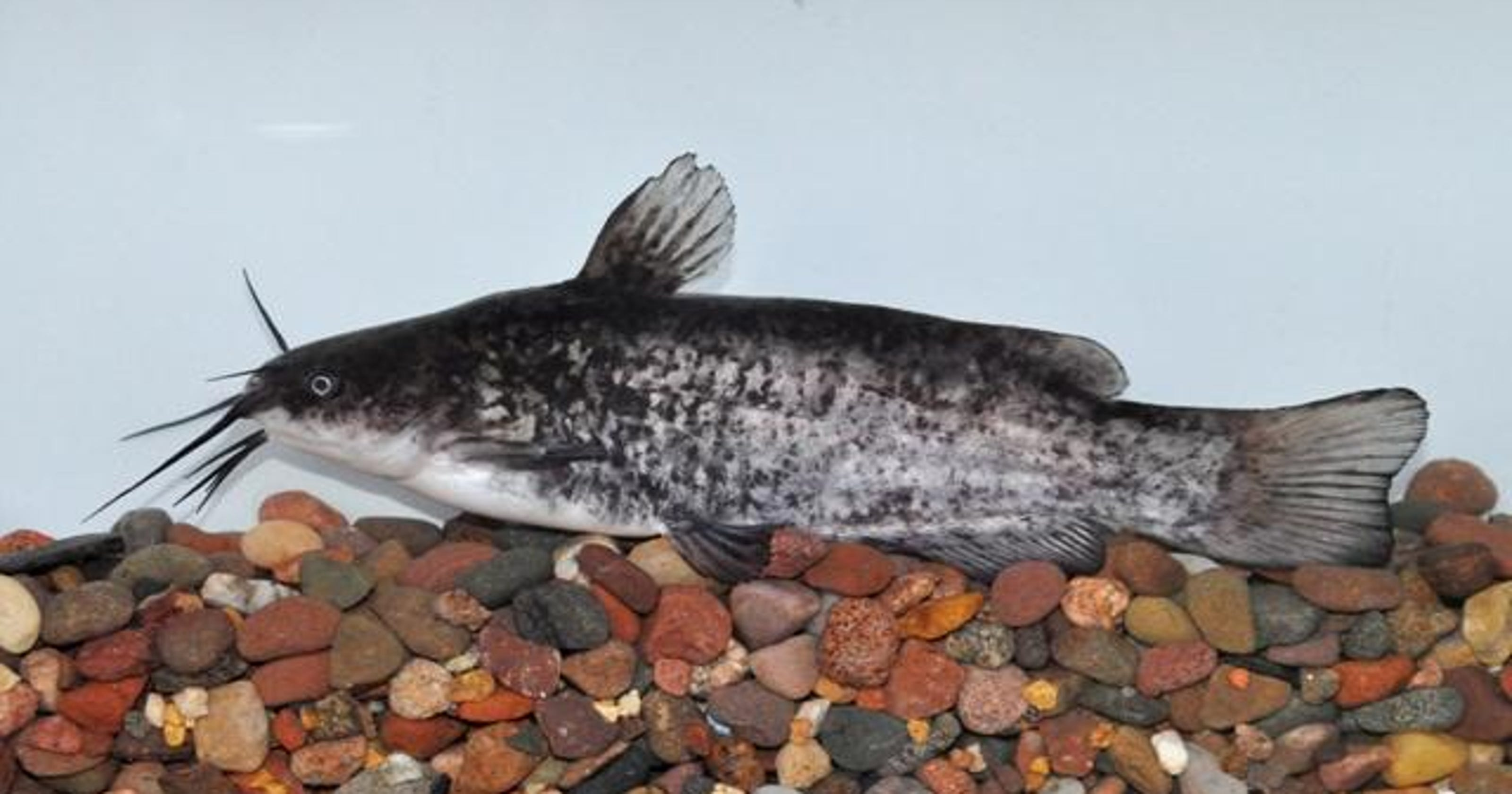 How to catch Iowa record-breaking fish