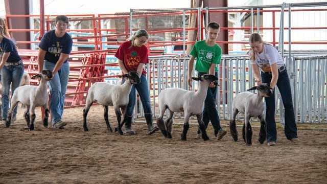 A wave of contestants bring their sheep back around for placement during the 2019 Dallas County Fair. The 2020 fair has been postponed. PHOTO BY SEAN CORDY/THE PERRY CHIEF