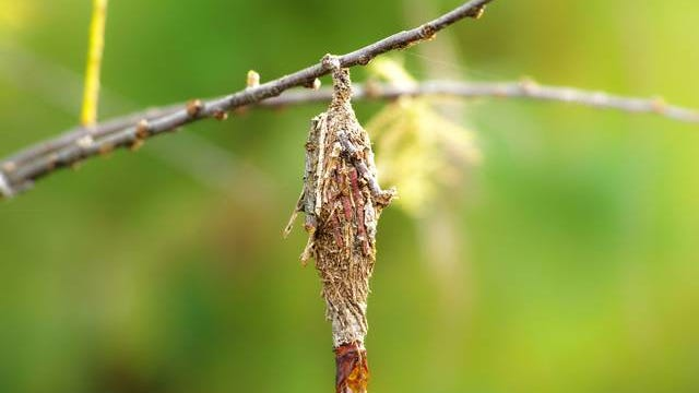 Bagworm larvae damage their hosts by feeding on the foliage. Courtesy