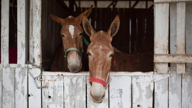 Two mules at the Maury County Park during a recent Mule Day celebration.