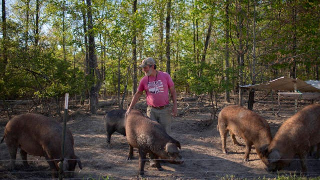 Cliff Davis of Pig & Leaf Farm in Summertown inspects his breeding stock of hogs on Friday, April 10, 2020.