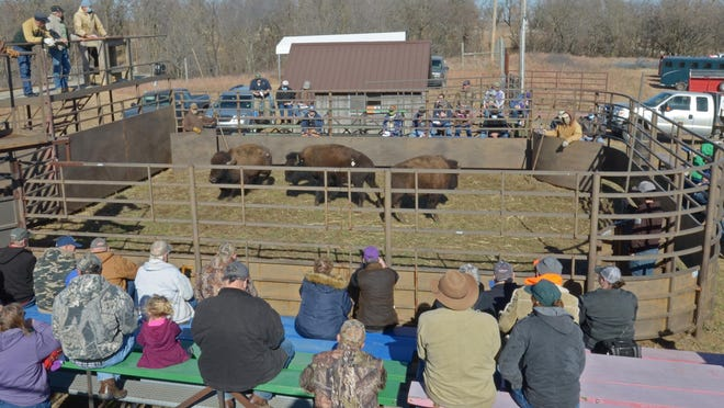 Three yearling heifers are sold individually as a crowd of about 100 attend the surplus bison auction Wednesday at the Maxwell Wildlife Refuge.