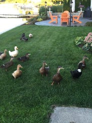 Some of the 15 domesticated ducks roam the backyards