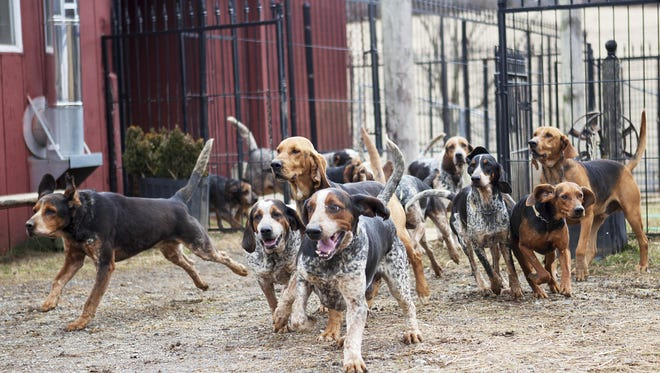 The Middlebrook Hunt Club's hounds are let loose before the hunt on Wednesday, Feb. 27, 2013 in Middlebrook. Most of the hunt clubs in the area us Penn-Marydel breeds, as well as Bluetick and Black and Tan foxhounds. The American Foxhound is the state dog of Virginia.