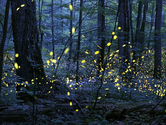 635972675403488511-Smokies-Synchronous-Fireflies-Elkmont-Photo-Credit-Radim-Schreiber-1-.jpg