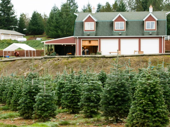 Nordmann firs at Skyline Christmas Tree Farm in 2016.