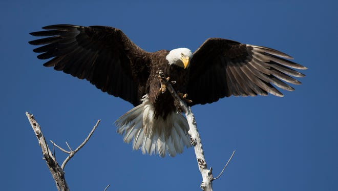 A bald eagle near its Pine Island nest. In May, Cape Coral City Council will discuss a proposal that would decrease bald eagle protections in the city.