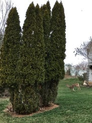 A deer is seen in a yard in the Kahite community of