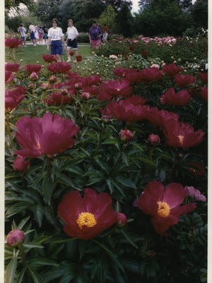 Peonies in full bloom compete for attention with thousands of roses at Boerner Botanical Gardens in Hales Corners. Boerner is scheduled to open for the season on April 29.
