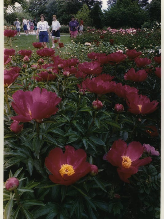1993 Press Photo Peonies in full bloom compete for attention with roses