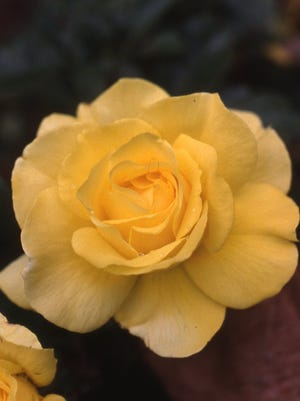 Itis not too late to plant a rose for the 2018 growing season. It can be planted in a garden or in a large container. Locate in full sun and enjoy added color for the remainder of summer and through October.